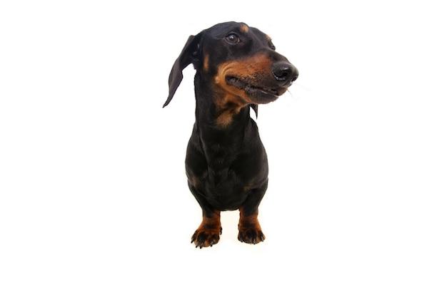 Ritratto piccolo bassotto cucciolo di cane inclinando la testa e guardando lungo la strada. isolato.