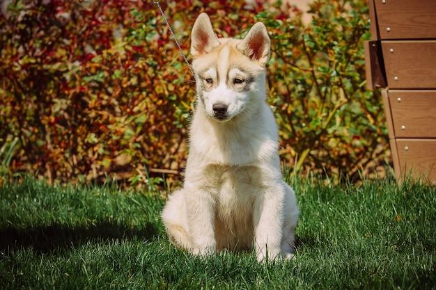 Ritratto di un cucciolo di cane husky.