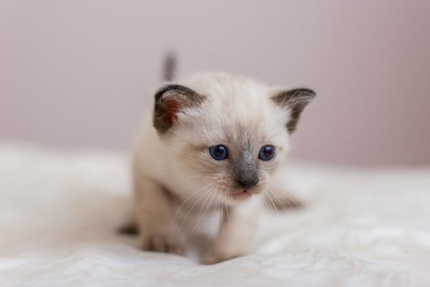 Ritratto di un gattino siamese con lunghi baffi