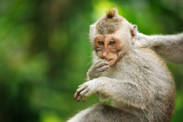 Ritratto di macaco dalla coda lunga nella sacra foresta delle scimmie, ubud, indonesia