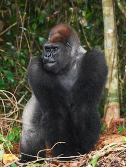 Ritratto di gorilla di pianura. repubblica del congo.