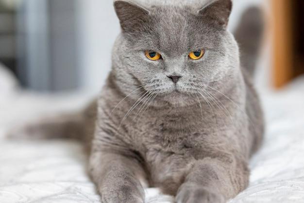 Ritratto di menzogne gatto grigio con il primo piano occhi arancioni. gatto british blue shorthair.