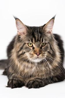 Ritratto di sgombro tabby maine coon gatto obbediente gatto a pelo lungo razza american coon cat sdraiato