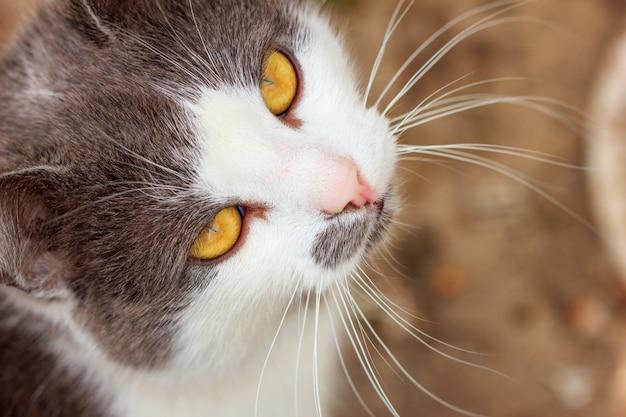 Il ritratto di un primo piano del gatto pazzo osserva