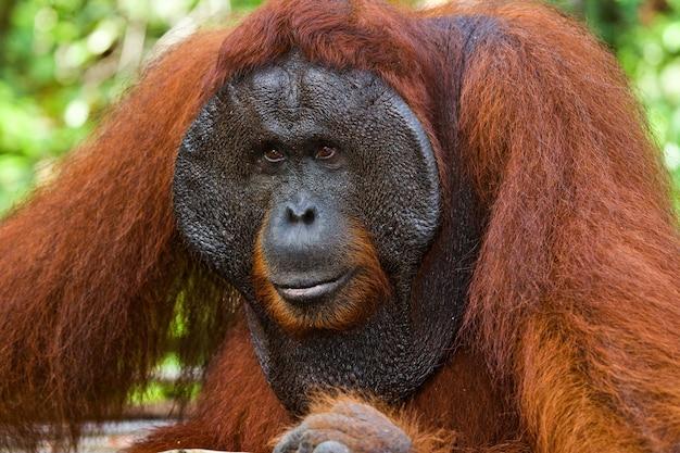 Ritratto di un orango maschio. avvicinamento. indonesia. l'isola di kalimantan (borneo).