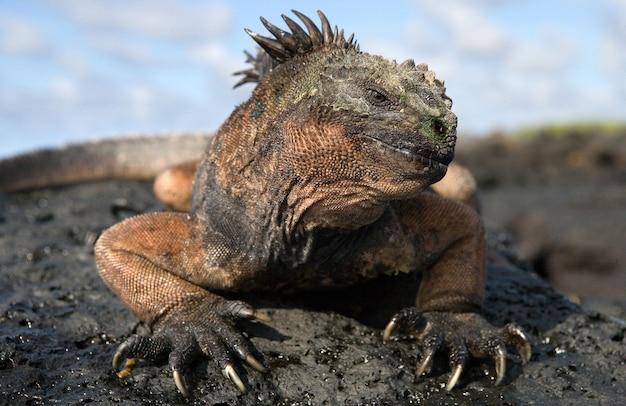 Ritratto dell'iguana marina in natura