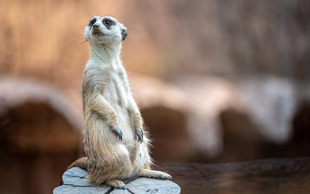 Ritratto di un suricato in piedi