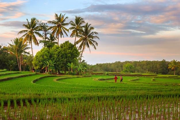 Ritratto di attività mattutina con alba sulle risaie di bengkulu, indonesia