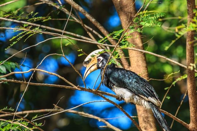 Ritratto di hornbill pezzato orientale