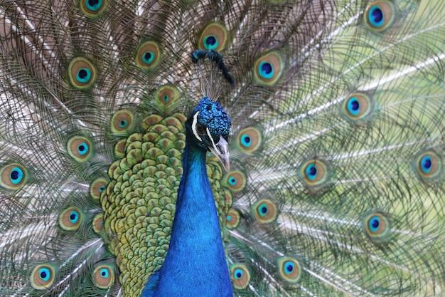 Ritratto di un primo piano del pavone sulla sua coda espansa