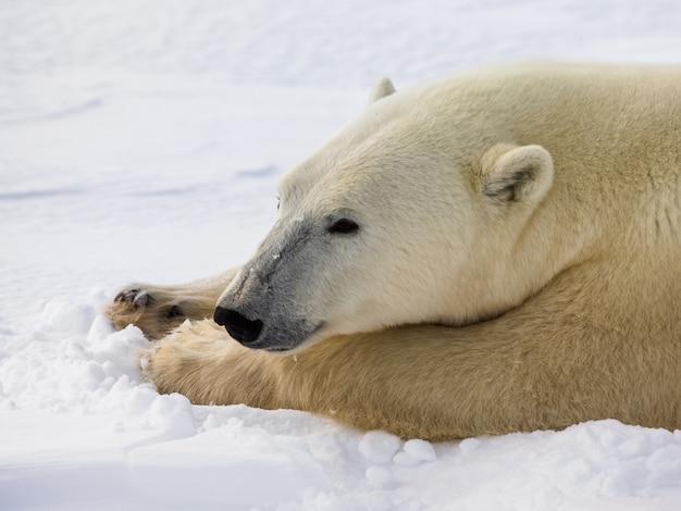 Ritratto di un orso polare. avvicinamento. canada.