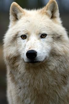 Ritratto di un lupo polare