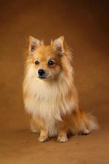 Ritratto di un cane spitz di pomerania su marrone in studio