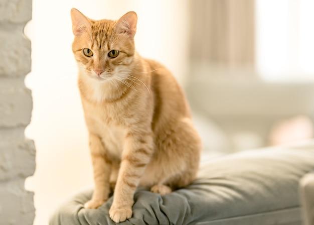 Ritratto di un grazioso gatto soriano allo zenzero domestico è seduto su un divano.