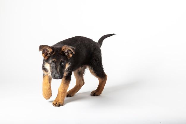 Ritratto di un cucciolo di pastore tedesco