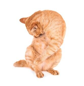 Ritratto di gatto rosso isolato su sfondo bianco