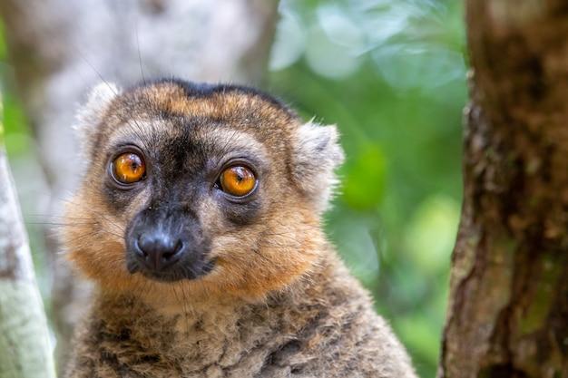 Il ritratto di un lemure rosso nel suo ambiente naturale