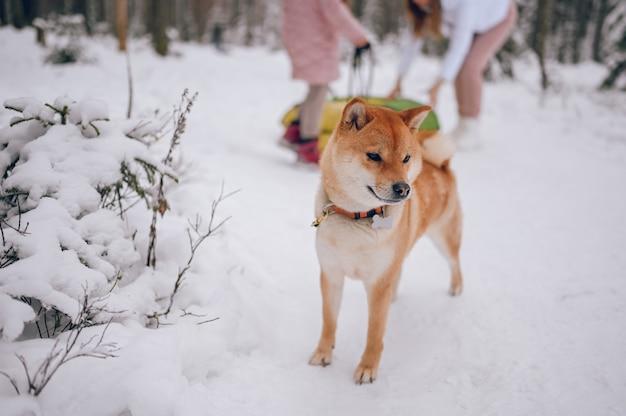 Ritratto di un cane rosso shiba inu con guinzaglio nero in inverno sul bianco della neve