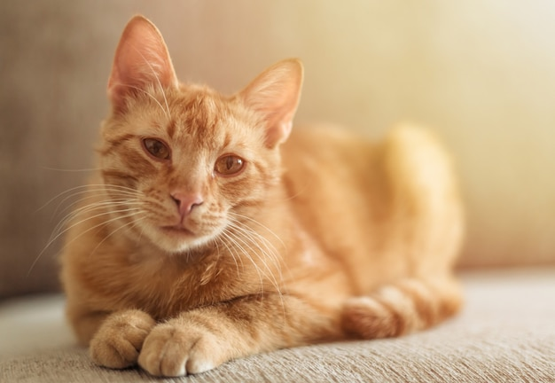 Ritratto di un simpatico gatto soriano dai capelli rossi che si trova sul divano e guarda la telecamera.