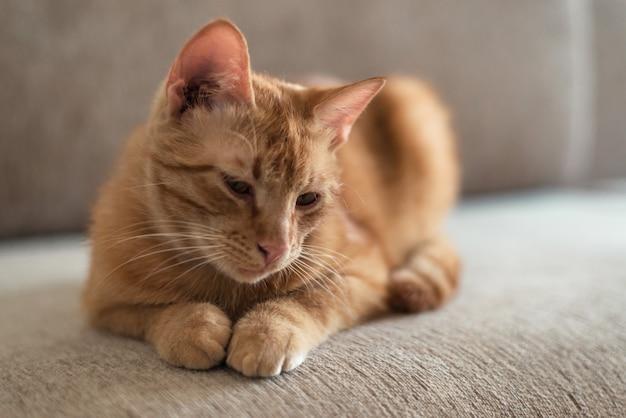 Ritratto di un simpatico gatto soriano dai capelli rossi che si trova sul divano e vuole dormire.