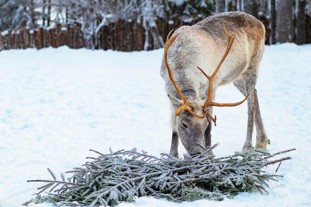 Un ritratto di una renna, cervo con enormi corna che mangiano rami di abete rosso.