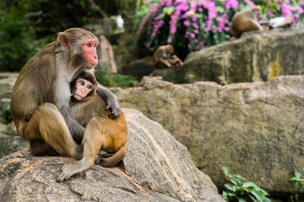 Un ritratto della scimmia madre macaco rhesus alimentazione e protegge il suo bambino carino bambino nel parco naturale della foresta tropicale di hainan, cina. scena della fauna selvatica con animale di pericolo. mulatta macaca.