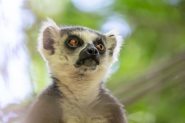Un ritratto di un lemure dalla coda ad anelli su un albero
