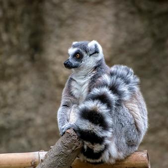 Ritratto di un lemure dalla coda ad anelli con la coda avvolta su se stesso