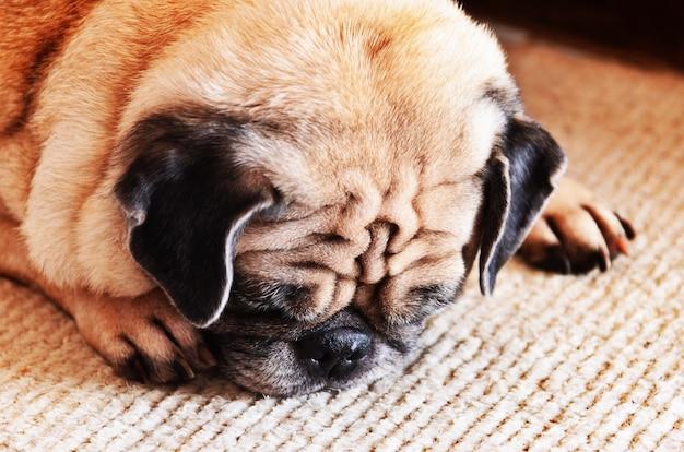 Ritratto di triste cane di razza pug