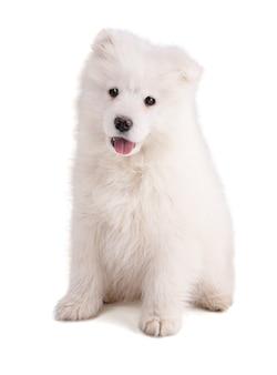 Ritratto di un cucciolo samoiedo