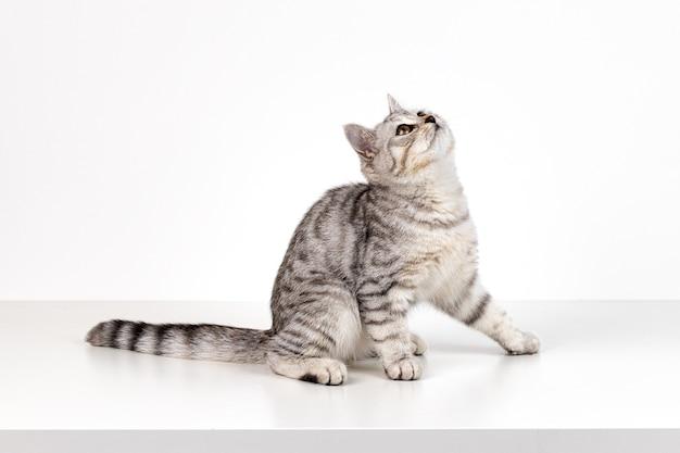 Ritratto di gattino dritto scozzese su sfondo bianco