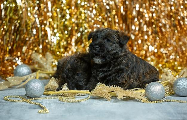 Ritratto di cuccioli di terrier scozzese su color oro