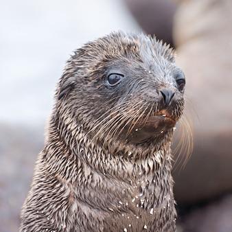 Ritratto di un cucciolo di leone di mare sulle isole galapagos, ecuador
