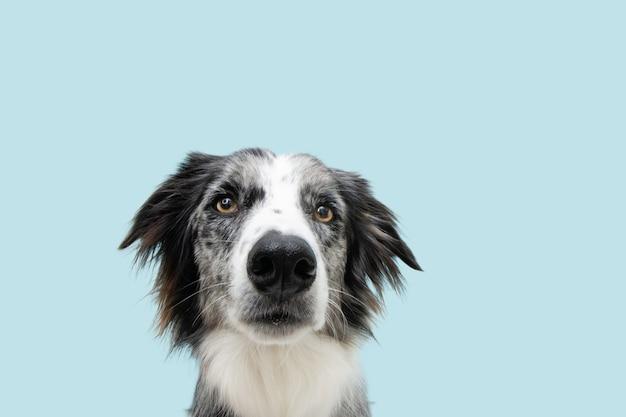 Ritratto serio e arrabbiato border collie cane. isolato sulla superficie pastello blu.
