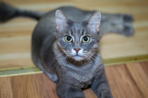 Ritratto di un gatto grigio serio