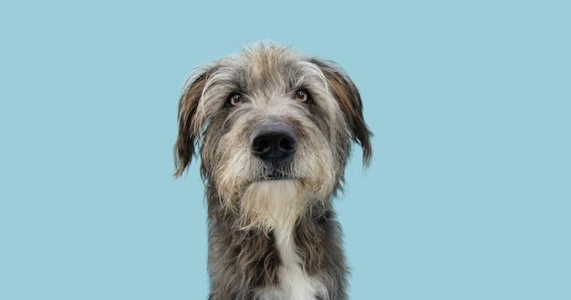 Ritratto serio cane di razza mista che guarda l'obbiettivo, isolato sulla superficie blu pastello.