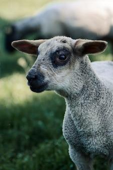 Ritratto di una pecora in piedi sull'erba