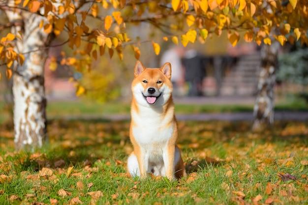 Ritratto di shiba inu in autunno nel parco.
