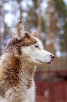 Ritratto di un cane husky siberiano con gli occhi azzurri in natura. un cane marrone e bianco con gli occhi azzurri. foto di alta qualità