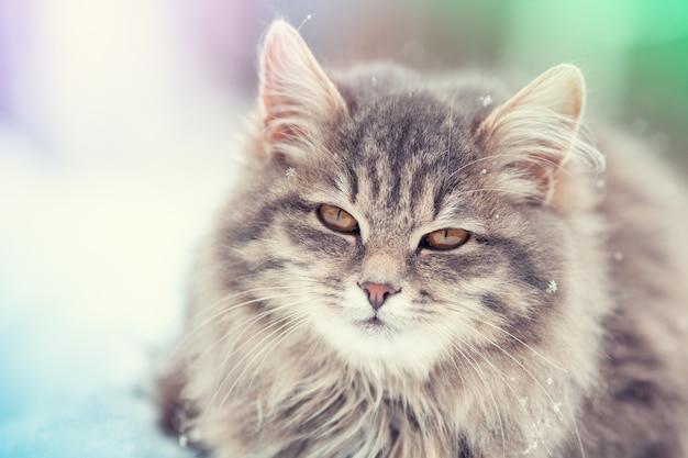 Ritratto di un gatto siberiano in inverno all'aperto