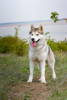 Ritratto di un husky siberiano. avvicinamento. il cane è in piedi sull'erba. paesaggio. fiume di sfondo.