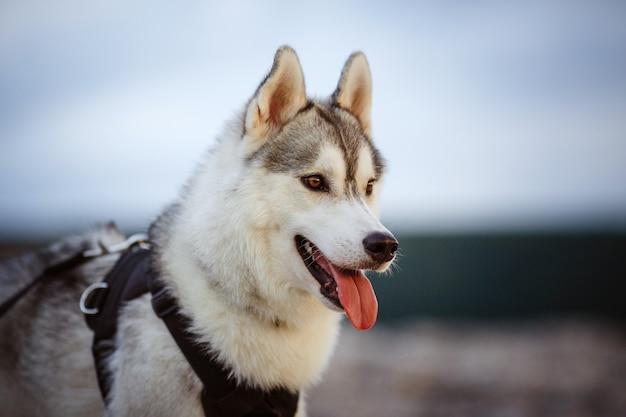 Ritratto di siberian husky. bel giovane maschio all'aperto. foresta e montagne