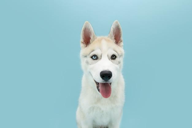 Ritratto di cucciolo di cane husky siberiano che attacca fuori linguetta.
