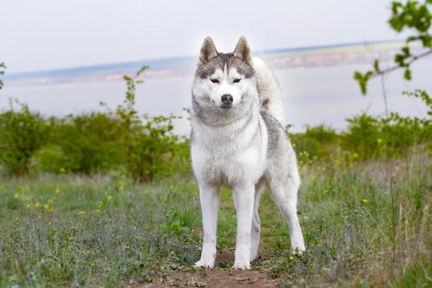 Ritratto di un husky siberiano
