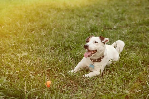Ritratto di piccolo jack russell terrier su erba verde nel parco naturale. piccolo cane divertente bianco del terrier di jack russell che gioca sulla passeggiata in natura, all'aperto. concetto di amore per gli animali domestici. copia spazio per il sito