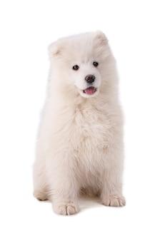 Ritratto di un cucciolo di smaoyed su uno sfondo bianco