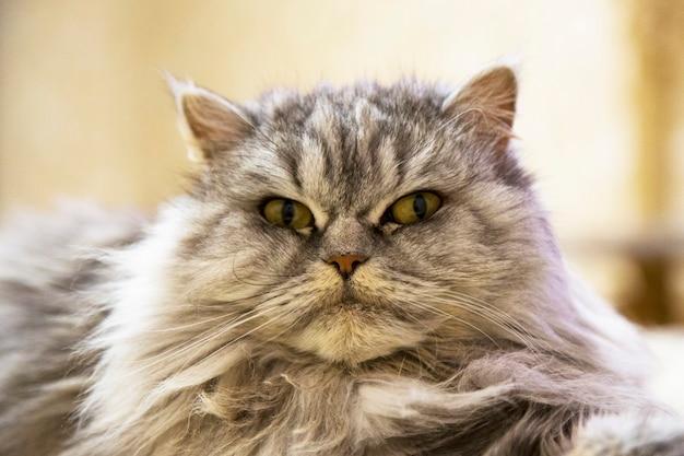 Ritratto di gatto bengala delle nevi, volto orgoglioso