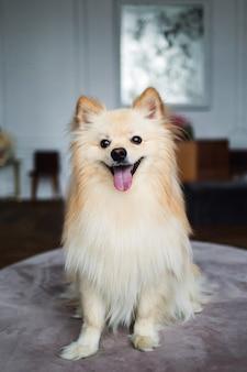 Ritratto di un cane sputa in studio interno decorato