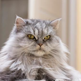 Ritratto di un gatto purosangue. un soffice gatto grigio con uno sguardo severo altezzoso