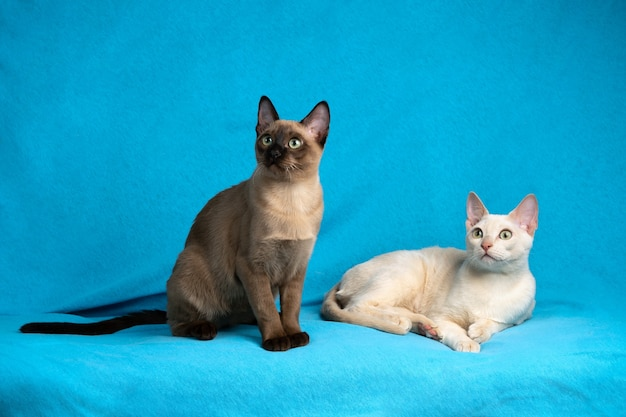 Ritratto di due gatti sdraiati su un panno blu